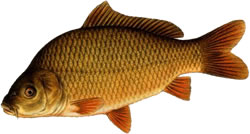 Carp Disease - Infection and Transmission