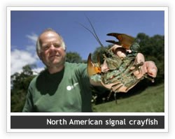 North American Signal Crayfish
